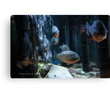 Piranha! Canvas Print