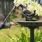 Pigeon Pair by myraj