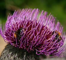 Thistle Flowerhead With Bumblebees by LaniPix