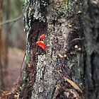 Mushroom tongued tree, Tarkine, Tasmania by Alister A Mackinnon