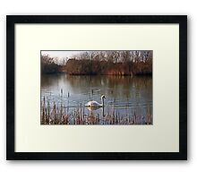 Swan on a Lake Framed Print