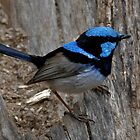 Superb Fairywren II by Tom Newman