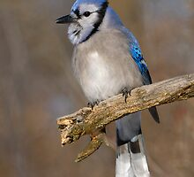 Blue Jay by Heather Pickard