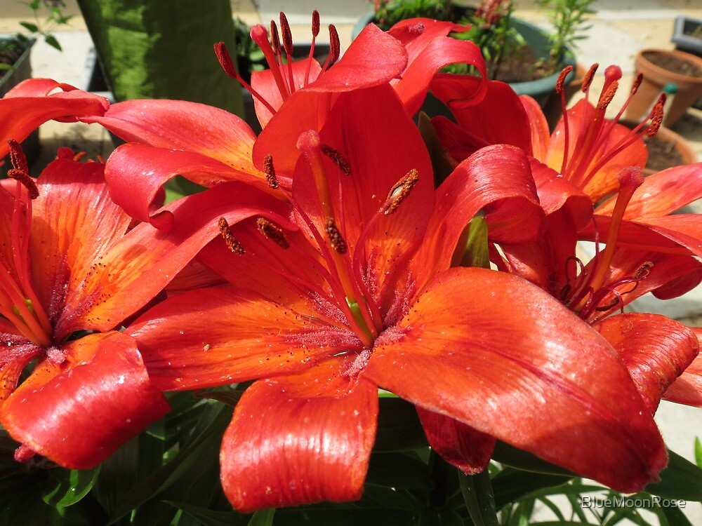 Flamboyant Lilies by BlueMoonRose
