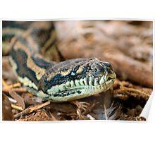 Python Closeup Poster