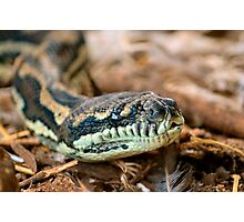 Python Closeup Photographic Print
