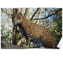 Mother Jaguar-Woodland Park Zoo Poster