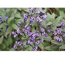 Purple Gems Photographic Print