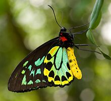 Cairns Birdwing Butterfly by Bruce  Thomson
