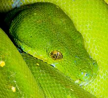 Green Python, Australia by Bruce  Thomson