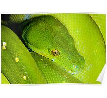 Green Python, Australia Poster