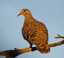 Common Bronzewing Pigeon, Australia by Bruce  Thomson
