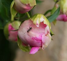 Ants on Peonie buds by NHclickchick