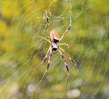 Rain Soaked Orb-Weaver by Dawne Dunton