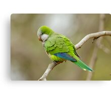 Monk Parrot, Brazil Canvas Print