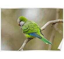 Monk Parrot, Brazil Poster