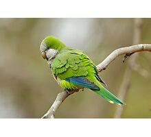 Monk Parrot, Brazil Photographic Print
