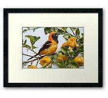 Orange-backed Troupial, Brazil Framed Print