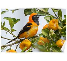 Orange-backed Troupial, Brazil Poster