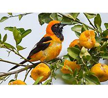 Orange-backed Troupial, Brazil Photographic Print