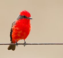 Vermillion Flycatcher, Brazil  by Bruce  Thomson