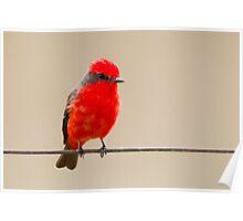 Vermillion Flycatcher, Brazil  Poster
