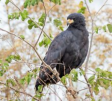 Great Black Hawk, Brazil by Bruce  Thomson