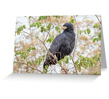 Great Black Hawk, Brazil Greeting Card