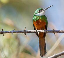 Rufous-tailed Jacamar, Brazil by Bruce  Thomson
