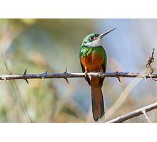 Rufous-tailed Jacamar, Brazil Photographic Print