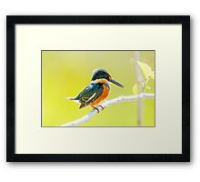 American Pygmy Kingfisher, Brazil Framed Print