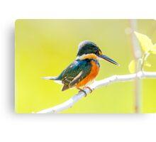 American Pygmy Kingfisher, Brazil Canvas Print