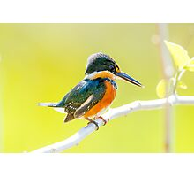 American Pygmy Kingfisher, Brazil Photographic Print