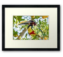 Chestnut-eared Aracari, Brazil Framed Print