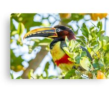 Chestnut-eared Aracari, Brazil Canvas Print