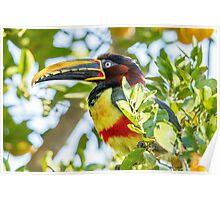 Chestnut-eared Aracari, Brazil Poster