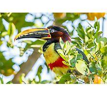 Chestnut-eared Aracari, Brazil Photographic Print