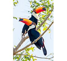 Toco Toucan, Brazil Photographic Print