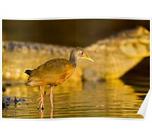 Grey-necked Wood Rail, Brazil Poster