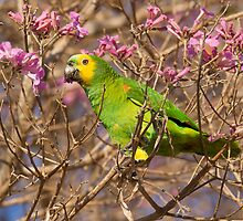 Blue-fronted Parrot, Brazil by Bruce  Thomson