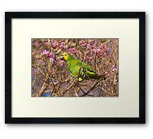 Blue-fronted Parrot, Brazil Framed Print