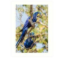 Hyacinth Macaw, Brazil Art Print