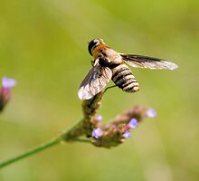 Bee Fly 2 by Dawne Dunton