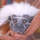 Cotton-Top Tamarin Monkey by Dawne Dunton