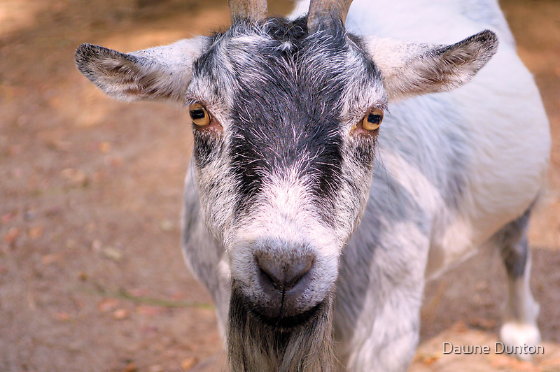 Billy The Goat by ©Dawne M. Dunton