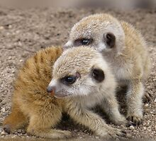 Meercat Twin Babies by Keith Richardson