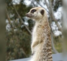 Meercat Lookout by Keith Richardson
