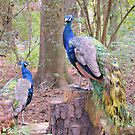 Peacocks by ©Dawne M. Dunton