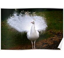 Exquisite White Peacock Poster