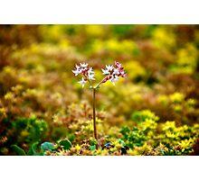 Tiny Alpine Flowers Photographic Print